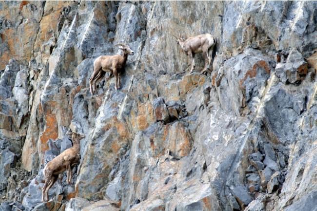 Cabras montañeando_A
