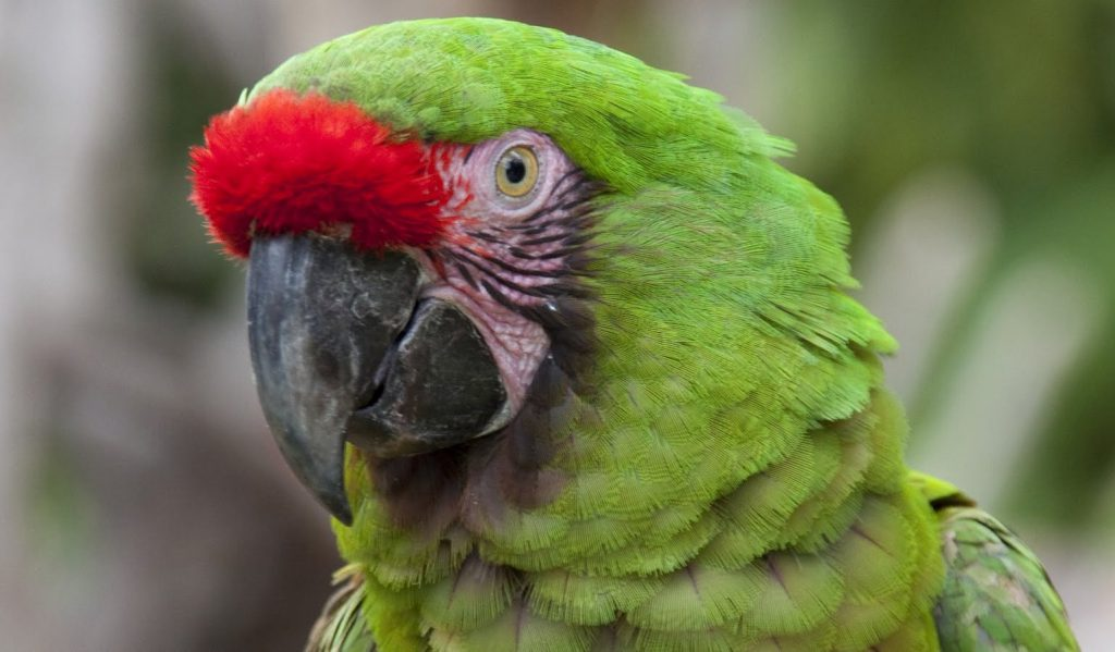 Papagayo Verde