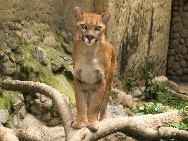 Puma Argentino