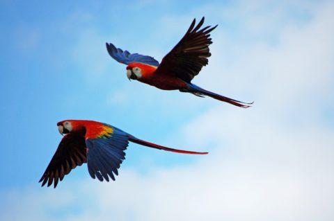 parrots-1612070_960_720
